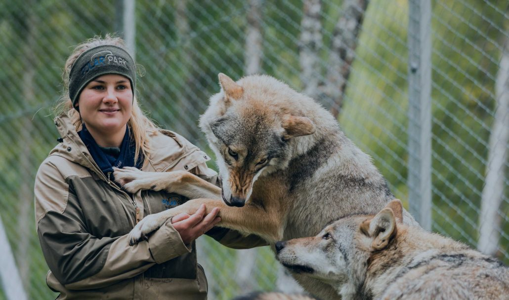 The wolves at Polar Park are accustomed to human contact.