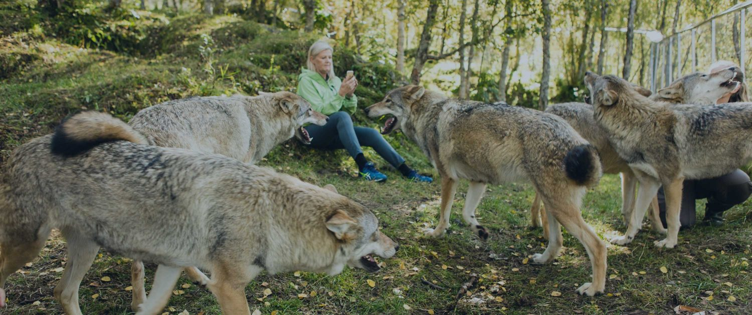 Experience artic nature up close as you live amongst the wolves at the ultra-exclusive, Wolf Lodge.